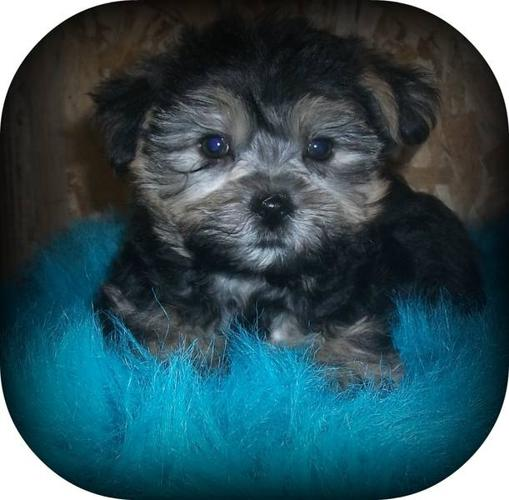 ... CUTE **** 2 HAVANESE CROSS YORKIE PUPS [M] in Rosebud, AlbertaFor Sale