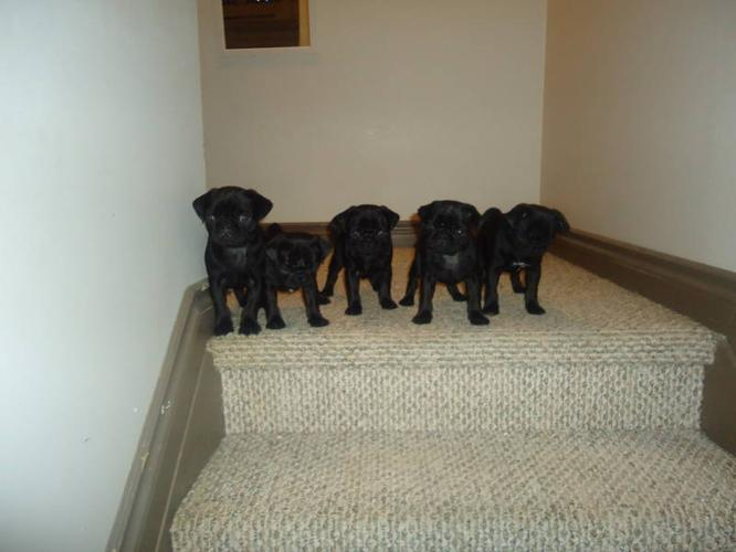 Black Pug Puppies for Sale