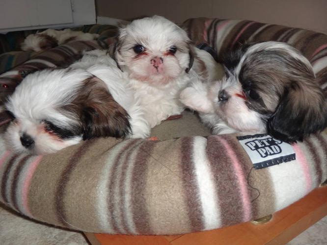Chocolate Brown Shih Tzu Puppies