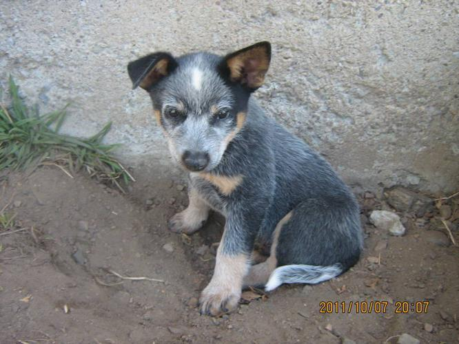 Australian Blue Heeler x Border Collie Puppies in Tamworth, OntarioFor ...