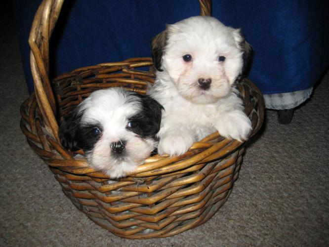 Beautiful Shih Tzu Maltese mix ( Malshi) in Cambridge, OntarioFor Sale