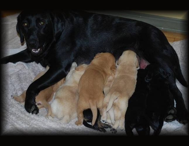 Black Lab Golden Retriever Puppies for Sale for sale in Grimshaw ...