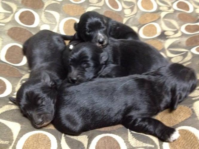 Border Collie X Golden Retriever Puppies for sale in Clinton, British ...