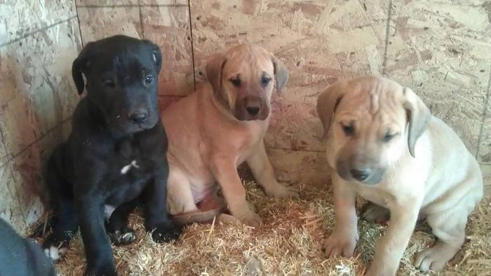 English Mastiff Great Dane Puppies