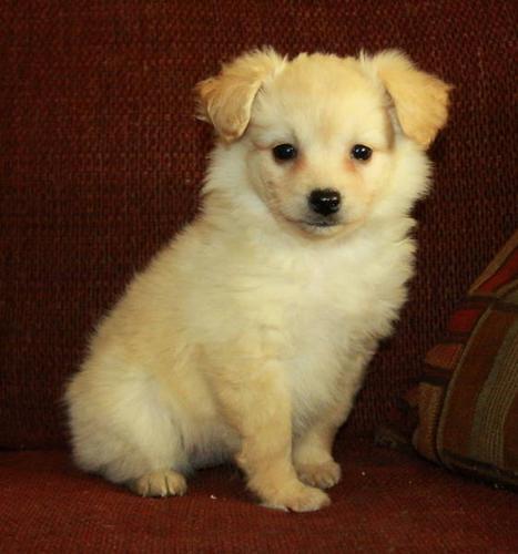Pomeranian Toy Poodle X
