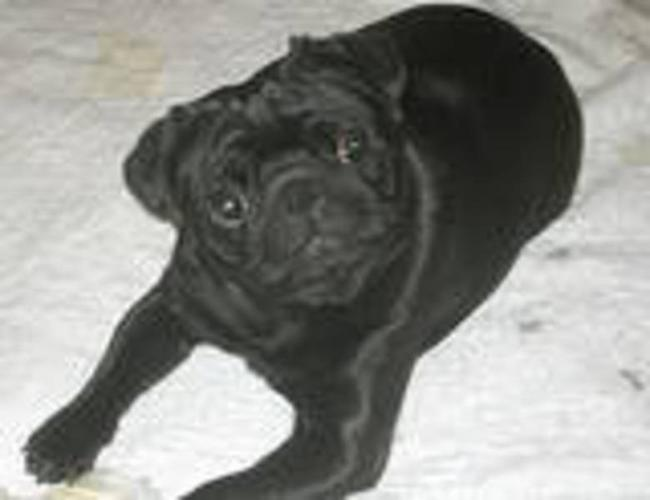 Intact Black male Pug for sale in Abbotsford, British ColumbiaFor Sale