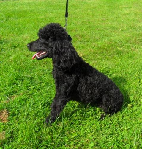 Miniature Poodle for sale in Orillia, Ontario - Nice pets in Canada