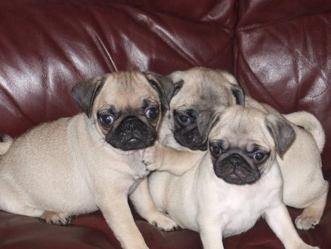 Pure breed pug puppies in innisfail albertafor sale