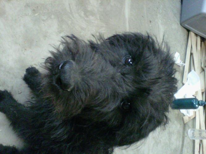 schnauzer standard poodle cross - schnoodle puppy in Langham