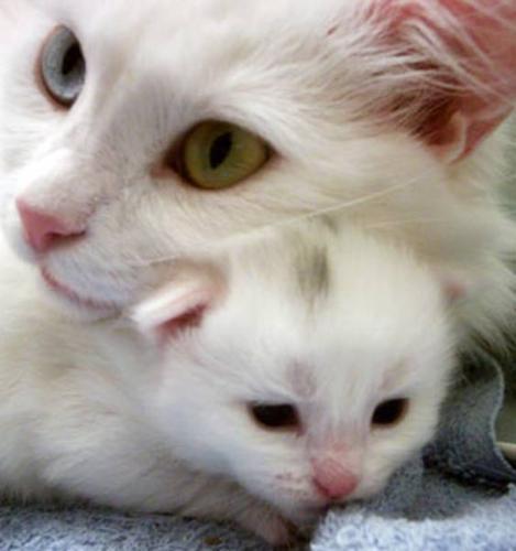 Turkish Angora Kittens in